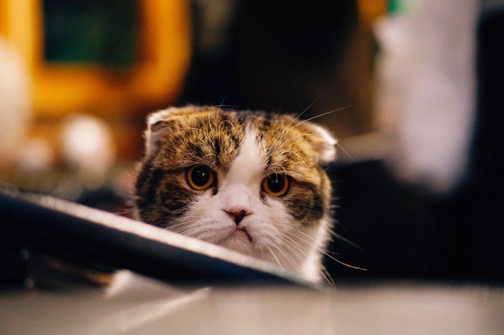 Katze mit angelegten Ohren Foto von FuYong Hua auf Unsplash